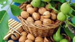 Грецкий орех. История возникновения и применение