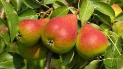 Груша любимица клаппа: описание сорта, тонкости выращивания и ухода