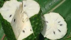 Гуанабана, или плод дерева гравиола - что это такое?
