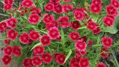 Гвоздика перистая: выращивание из семян в домашних условиях