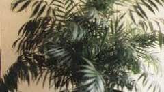 Хамедорея изящная (chamaedorea elegans), или комнатная пальма: уход в домашних условиях и фото
