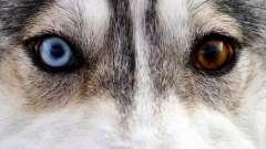 Хаски с разными глазами: особенность породы или брак?