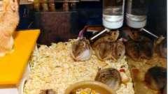 Хомяк джунгарский: размножение в неволе