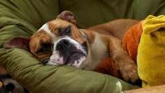 Инсульт у собак: причины и первая помощь