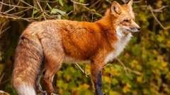 Интересные малоизвестные факты о том, какова продолжительность жизни лисы, о её повадках и рационе
