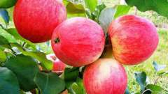 Яблоня мечта: секреты выращивания
