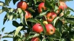 Яблоня «жигулевское» - хороший поздний сорт
