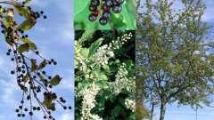 Ягоды черемухи: полезные свойства, фото