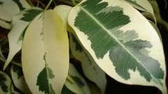 Энциклопедия комнатных растений: фикус бенджамина – уход в домашних условиях