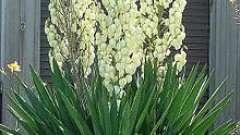Юка (цветок): как ухаживать за ним в домашних условиях