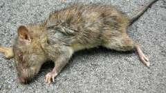 К чему снится дохлая крыса: значение сна