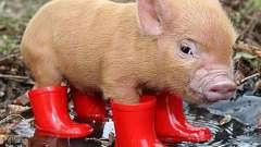 К чему снятся свиньи: подробные толкования