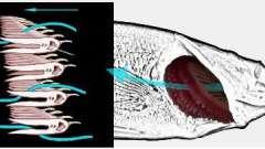 Как дышит рыба? Органы дыхания рыб. Как дышат рыбы под водой?