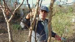 Как и когда правильно обрезать плодовые деревья. Как обрезать плодовые деревья весной