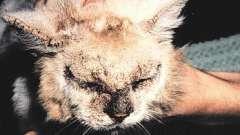 Как лечить лишаи у кошек. Симптомы, диагностика, способы лечения