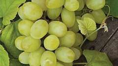 Как посадить виноград осенью - подготовка саженца и этапы посадки