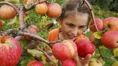 Как правильно обрезать яблоню? Советы садоводов