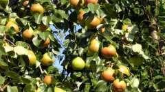 Как правильно посадить грушу весной: советы и рекомендации