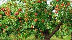 Как сажать яблони и правильно выбирать саженец