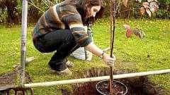 Как сажать яблоню осенью? Наши советы и рекомендации помогут вам радоваться урожаю домашних наливных яблочек!