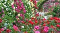 Как сажать розы в домашнем саду