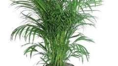 Как ухаживать за пальмой в домашних условиях. Полезные рекомендации