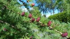 Как выглядят шишки лиственницы?
