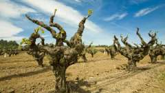 Как выполяется прививка винограда на старый куст