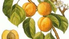 Как выращивать абрикос из косточки? Советы садоводов