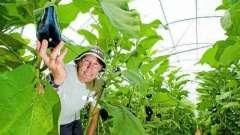 Как выращивать баклажаны в теплице: особенности высадки и ухода