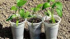 Как вырастить перец в теплице: советы и рекомендации