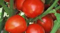 Как вырастить помидоры в открытом грунте: посадка и уход