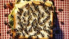 Как вывести муравьев из дома? Действенные способы
