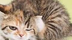Как выводить блох у котят, которым ещё нет и полгода?