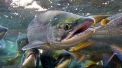 Как живут лососевые рыбы
