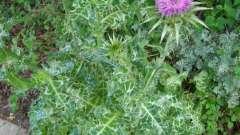 Какие получает отзывы расторопша как лекарственное растение?