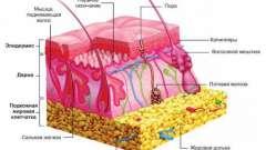 Какие рецепторы располагаются в коже. Их строение и функции