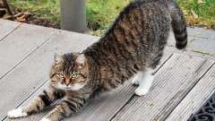 Какие существуют контрацептивы для кошек: виды, названия