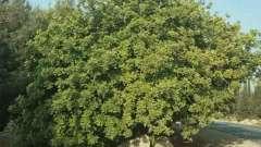 Какими свойствами обладает рожковое дерево? Полезные свойства плодов растения