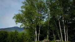 Какое дерево выше: береза или яблоня? Береза и яблоня: разница