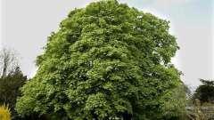 Какое дерево выше: эвкалипт или каштан? Высота каштана и эвкалипта