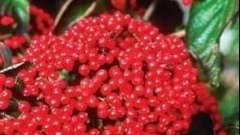 Калина красная: полезные свойства и противопоказания к применению