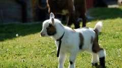 Камерунская коза: особенности содержания и ухода