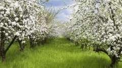 Карликовые яблони - украшение любого сада