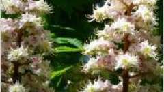 Каштан конский обыкновенный – декоративные и лечебные свойства
