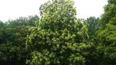 Каштан посевной съедобный: посадка и выращивание