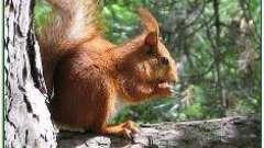 Кедровые орешки: польза и вред. Что перевешивает?