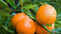 Клементин - это... Чем клементины отличаются от мандаринов?