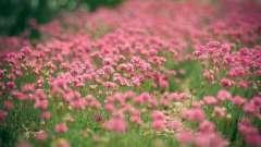 Клевер розовый: лечебные свойства и способы заготовки полезного растения