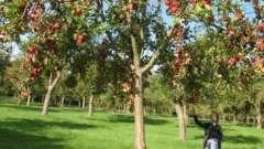 Когда обрезать яблоню: советы профессионалов